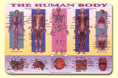 Painless Learning HUM-1 Human Body Placemat